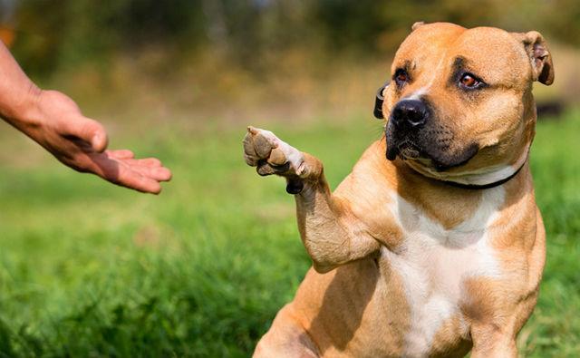 Воспитание щенка питбуля — раскрываем все нюансы