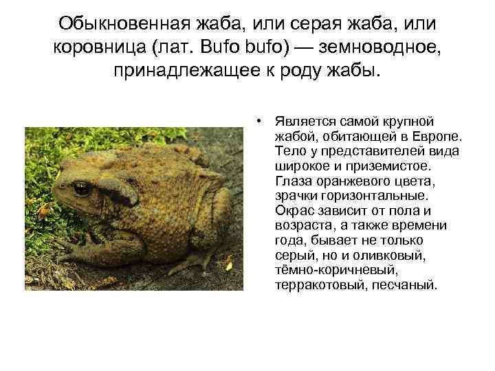 Африканская карликовая лягушка (гименохирус) в аквариуме