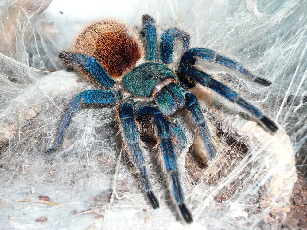 Паук тарантул: описание, места обитания, чем кормить, содержание