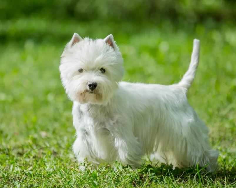 Вест-хайленд-уайт-терьер фото, цена щенка, описание породы, отзывы