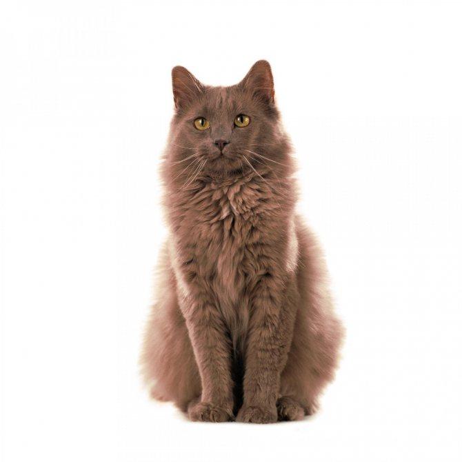 Йоркская шоколадная кошка : содержание дома, фото, купить, видео, цена