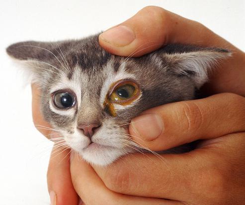 Как вылечить насморк кошке в домашних условиях?
