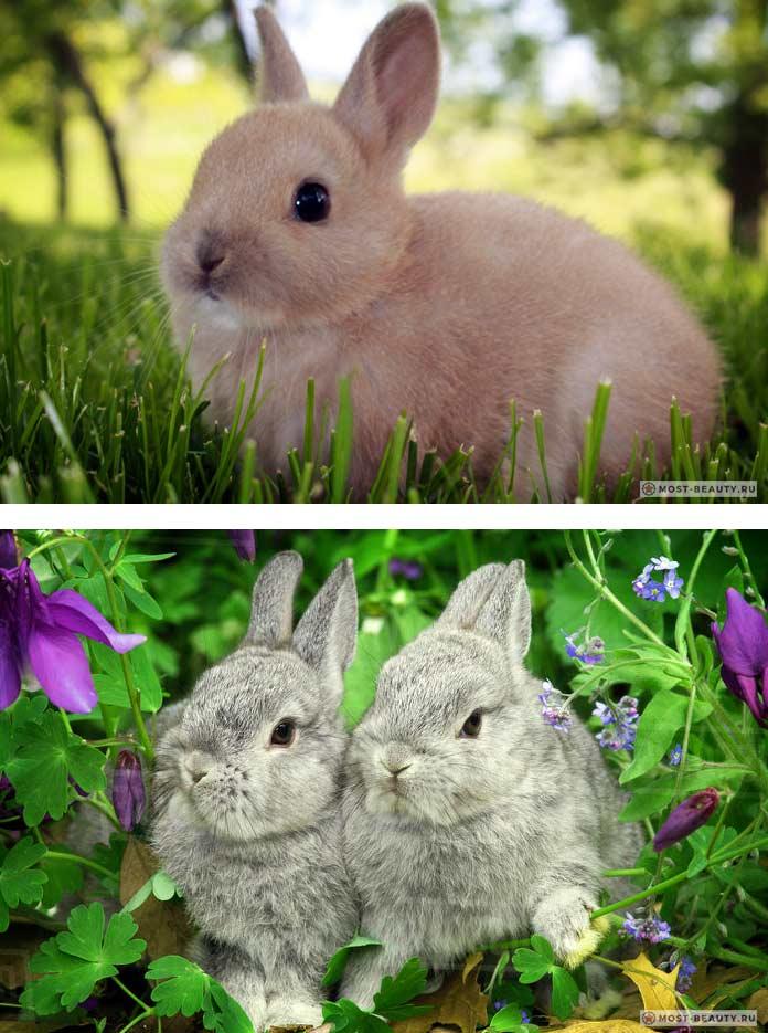 Лисий карликовый кролик: описание породы