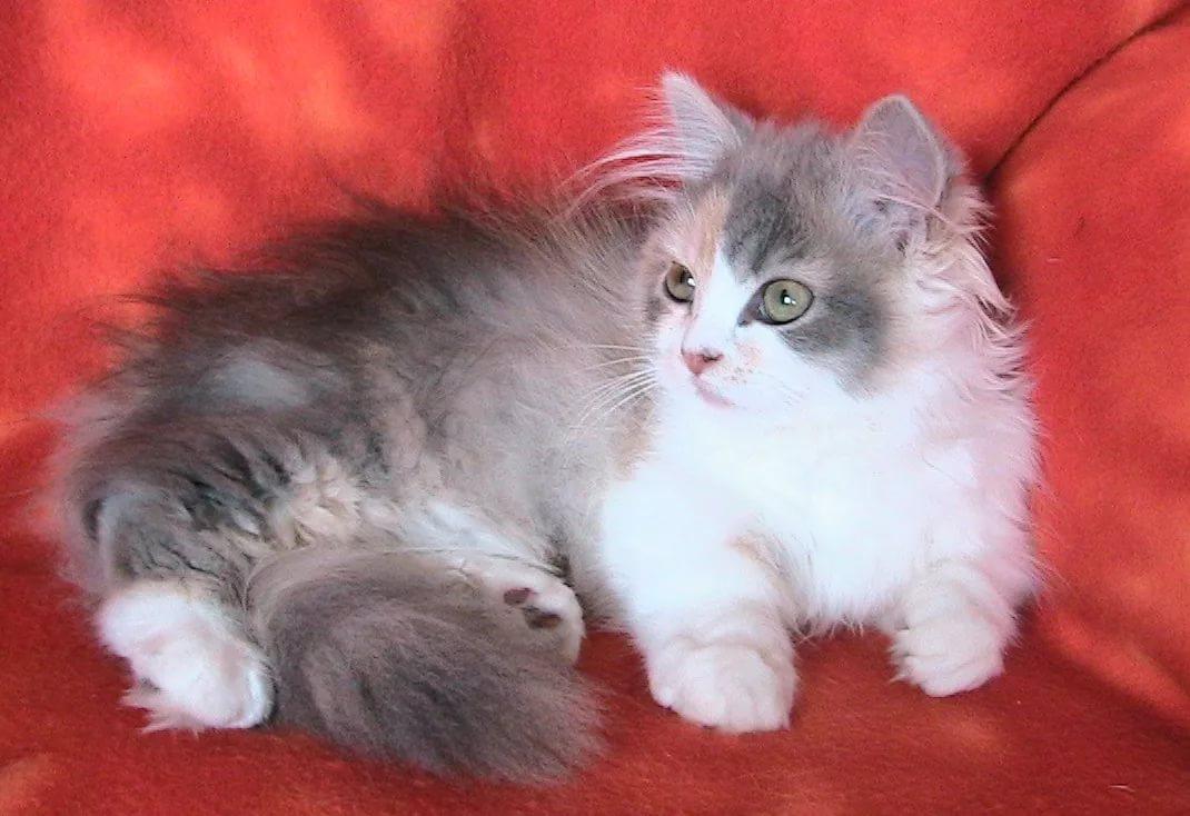 Наполеон (менуэт): покупка котенка