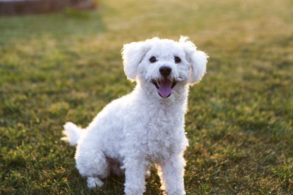 Порода собак болонка с фото и описанием виды содержание, уход цена отзывы
