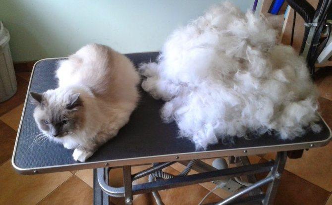 Кошка сильно линяет: как спастись от шерсти?