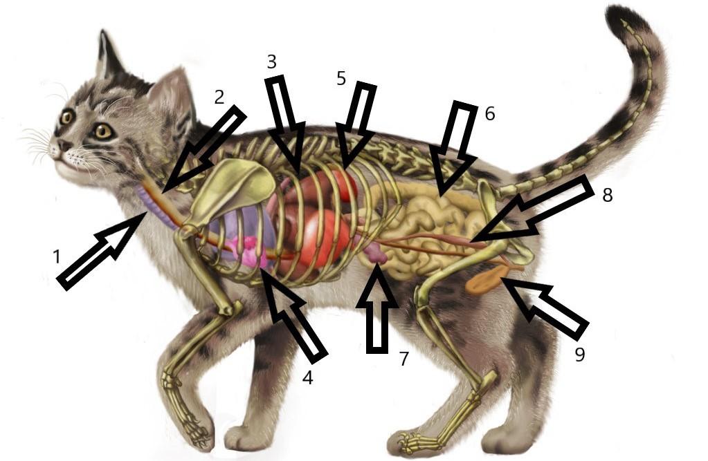 Для чего кошке хвост? какое он имеет значение? почему нельзя дергать и тянуть животное за хвост? почему кот трясет и влияет хвостом? зачем коты бегают за своим хвостом?