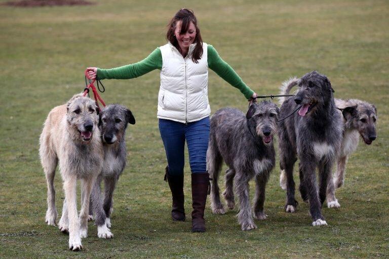 Ирландский волкодав фото, с человеком, цена щенка, описание породы, отзывы