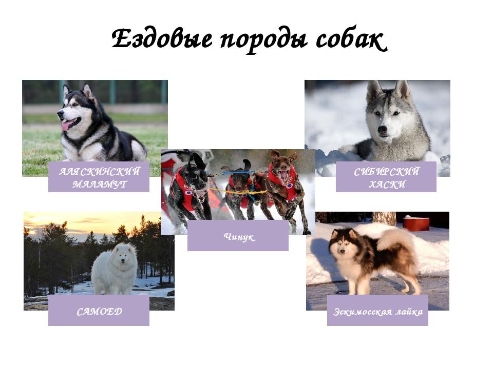 Клички северных ездовых собак мальчиков   сайт зовут zovut.com