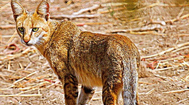 50 интересных фактов о камышовых котах для любознательных